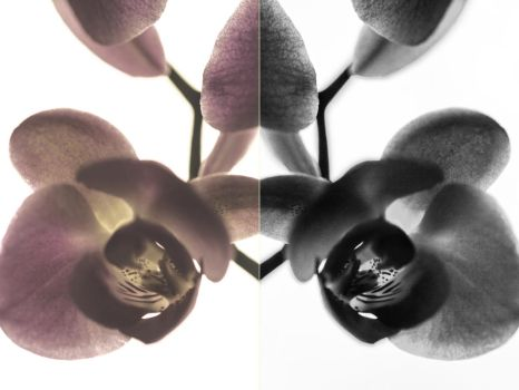 Diptych Orchid by CareBearKelly