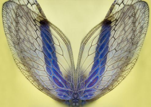 Stock Photo - Insect Wings by endprocess83