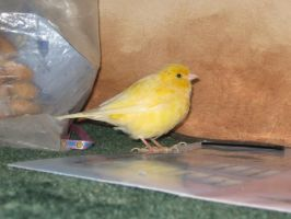 Canary 1 by Emane1983