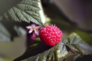 Raspberry by risbo