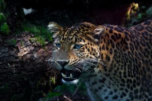 - China Leopard - by PiTurianer