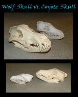 Wolf Skull VS Coyote Skull by MorRokko