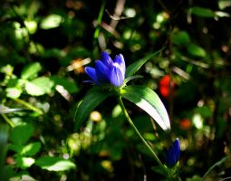 Blue (Bottle) Gentian by donnatello129
