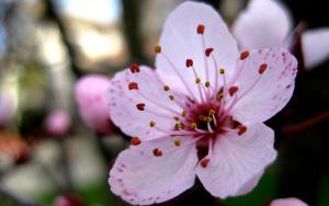 Pink Cherry Blossoms Wallpaper by Solitude12
