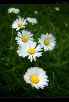 Daisy III by apologeticsuicide