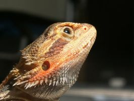 Bearded Dragon Texture 4 by maze1216