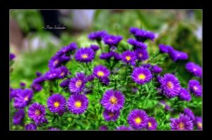 Lilas. by Phototubby