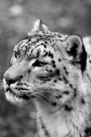 Snow Leopard by mole2k