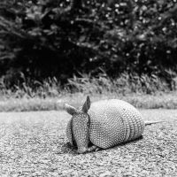 Alabama Armadillo by jonniedee