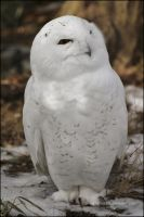 Snowy Owl Portrait by SilkenWinds