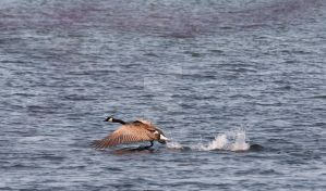 Goose taking flight by Peach105