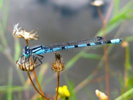 Blue Damselfly 7 by iriscup