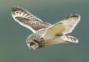 The Hover - Short-eared Owl by Jamie-MacArthur