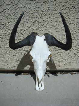 Black Wildbeest skull by Ratrinadragon