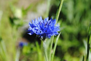 blue flower by Northern-beauty