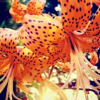 Tiger lily by rosaarvensis