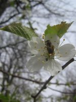 bee in blossom by CotyStock