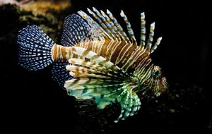 Pterois volitans II by jo-i