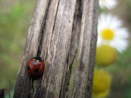 ladybird by common-blue