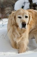 Golden Retriever in snow3 by archaeopteryx-stocks