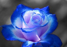 coloursplash rose- blue by opium-luvs-blue