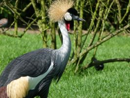 Crowned Crane by frayzoid