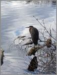 Heron at the Mirror by Mogrianne