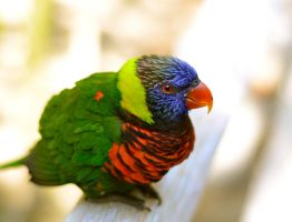 Lonely Lorikeet by Cherose77