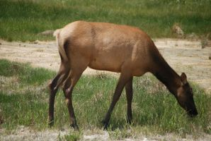 Elk in Yellowstone #2 by MNgreen