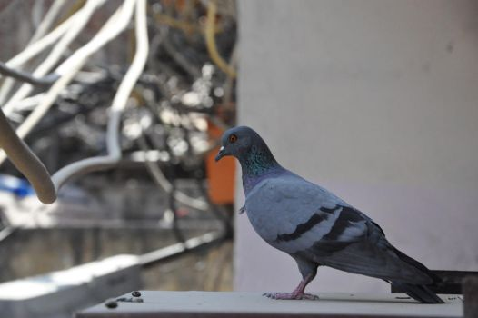 Pigeon by MauveLady