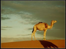 Camel by Tribe07
