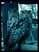 Owls by rafsan