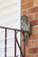 Tawny Frogmouth by Mike79Baker