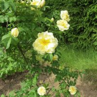 Yellow roses 2 by Kattvinge