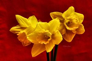 Red Daffodils by Deb-e-ann