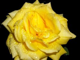 yellow rose by Fawania