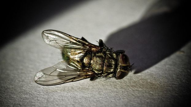 A fly...up close 2 by Egg-Salad