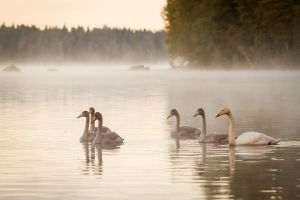Swan family by Antz0