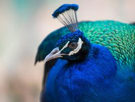Peacock Portrait -I by InayatShah
