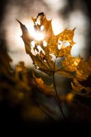 dying leaf by Stegie