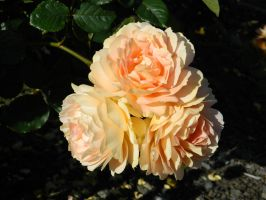 Peach Roses 002 - HB593200 by hb593200