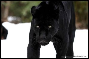 Black beauty by AF--Photography