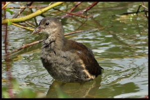 Juvenile Moorhen by Somebody-Somewhere