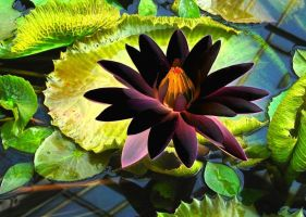waterlily by Ommadawn