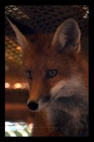 Red Fox II by Wild-Soul