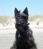 Scottish Terrier by winterface