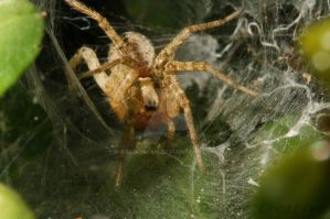 Spider by agbduncan