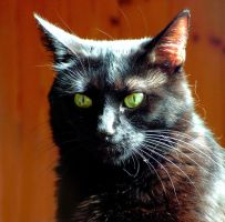 Sunlit Black Cat by surrealistic-gloom