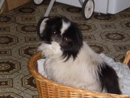 Pippa the Japanese Chin-Stock by SilkenWebs