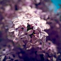Norwegian Lilacs I by Inarita